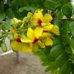 "due to my irrigation...FLOWERS IN THIS PAU-BRASIL THIS YEAR"" ""Caesalpinia echinata"" Pernambuco Brazilwood"