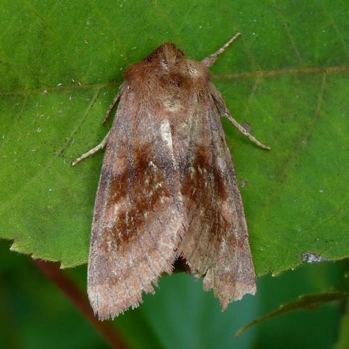 autumn newjersey moth nj insects lepidoptera noctuidae noctuinae arthropoda invertebrate morriscounty insecta willowwoodarboretum noctuoidea nephelodesminians bronzedcutworm tholerini