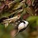 Black-capped Chickadee foraging on spiders