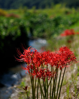 彼岸花   (Lycoris radiata )