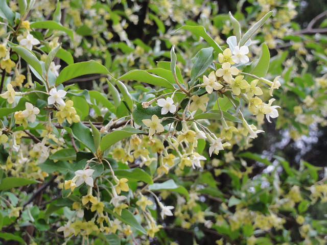 Elaeagnus multiflora ´Bikkuri Gumi´