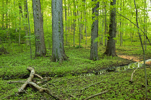 new york old trees summer green rot church backlight forest woodland spring woods peace floor natural grove decay first peaceful glen holy growth vision western sacred marsh mormon lds palmyra hardwood westernnewyork oldgrowthforest sacredgrove firstvision thesacredgrove thefirstvision