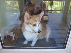 animal, dog, pet, mammal, east siberian laika, greenland dog, pembroke welsh corgi, welsh corgi,