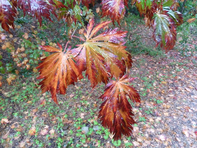 Foto: Japanse esdoorn 'Aconitifolium'