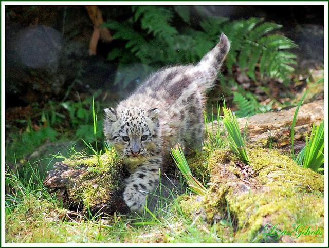 Baby white leopard - photo#10