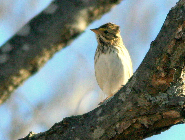 Savannah Sparrow 3-20101101