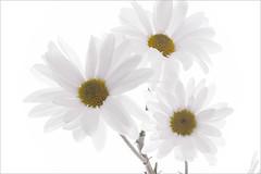 White-Daisies - Daisy -  IMG_0987-1000