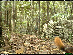 Northern or Southern Amazon Red Squirrel