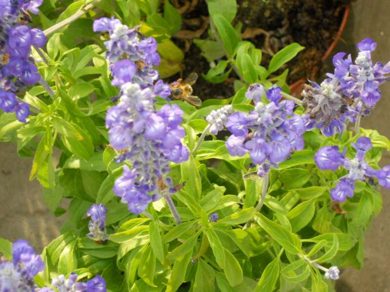 Salvia farinacea 2
