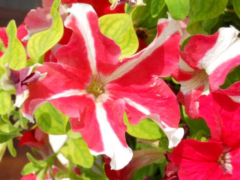 Petunia multiflora 2