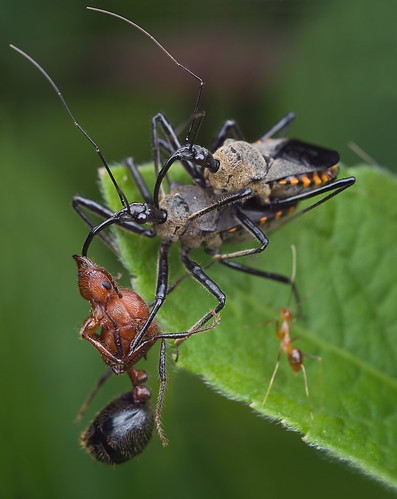 Food, sex and TV. Mating assassin bugs with ant prey.......:D IMG_4897 merged copy