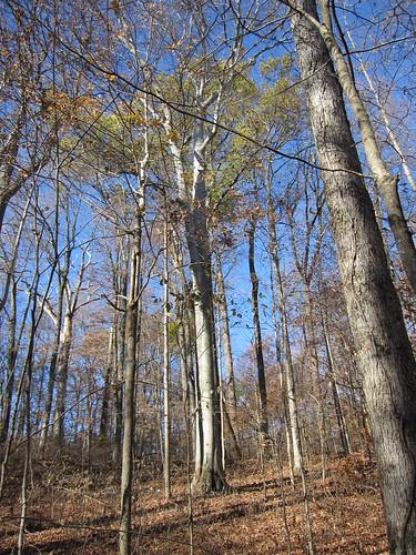 fagusgrandifolia americanbeech taxonomy:binomial=fagusgrandifolia pioneermothersmemorialforest