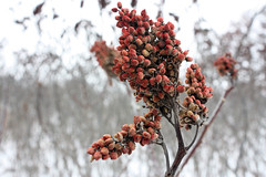 red sumac berries in front of a blurred background of snow and brush