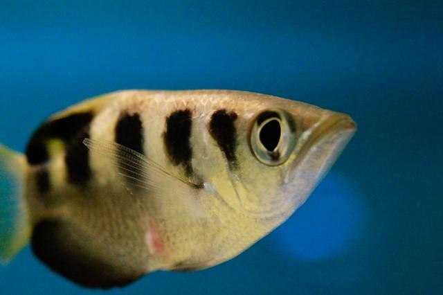 Токсотес, рыба-брызгун (Toxotes jaculator), фото новости о рыбах фотография картинка