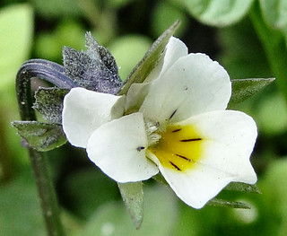 Naturalised from Europe. Viola arvensis, a Wild Field Pansy on the Schuylkill Riverbank, Philadelphia, PA, USA