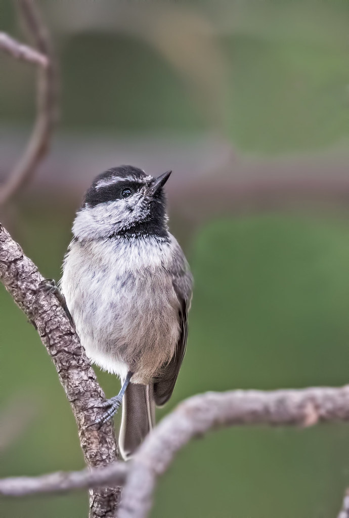 Mountain-Chickadee-31-7D2-062517