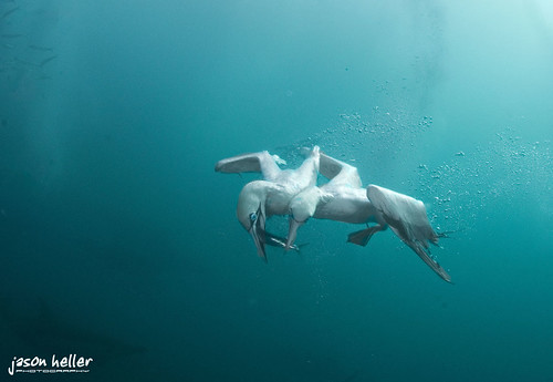 Gannets Fight For The Sardine