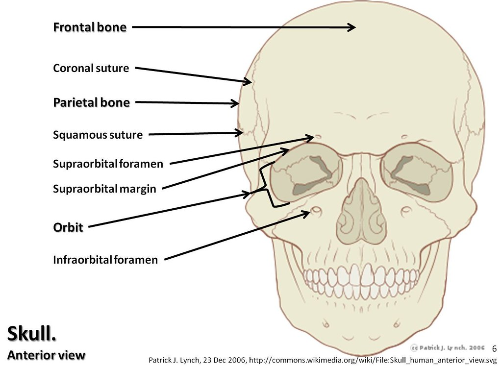 Skull Diagram Anterior View With Labels Part 1 Axial Skeleton