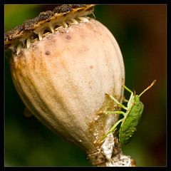 Green Shieldbug on a poppy