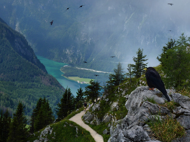 The buoyant acrobatic flights of the Alpine Choughs