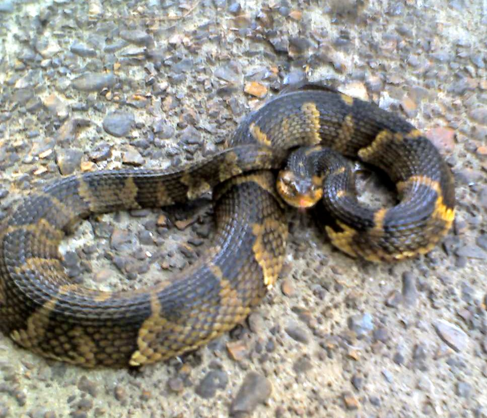 Banded Water Snake Care Eastern Banded Water Snake