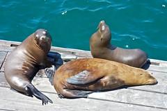 Three sea lions on a dock