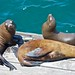 Three sea lions on a dock
