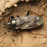 avarbodobács - Eremocoris fenestratus