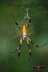 argiope(0.0), yellow garden spider(0.0), araneus(0.0), european garden spider(0.0), arthropod(1.0), animal(1.0), spider(1.0), invertebrate(1.0), macro photography(1.0), fauna(1.0), close-up(1.0), orb weaver spider(1.0), spider web(1.0),