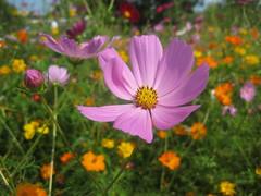 annual plant(1.0), flower(1.0), field(1.0), garden cosmos(1.0), nature(1.0), macro photography(1.0), wildflower(1.0), flora(1.0), sulfur cosmos(1.0), meadow(1.0), cosmos(1.0), petal(1.0),