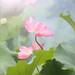 Pink Lotus Flower by Bahman Farzad
