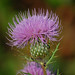 Cirsium discolor- Field Thistle
