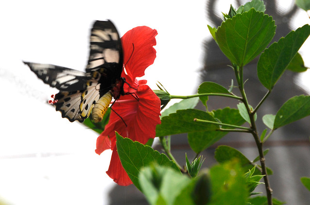 Butterfly & Hibiscus