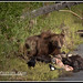 Grizzly Bear and Bison Carcass-6144-2-W