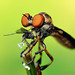 Robber Fly with Prey (Holcocephala fusca) by Thomas Shahan