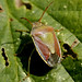 Gorse Shield bug