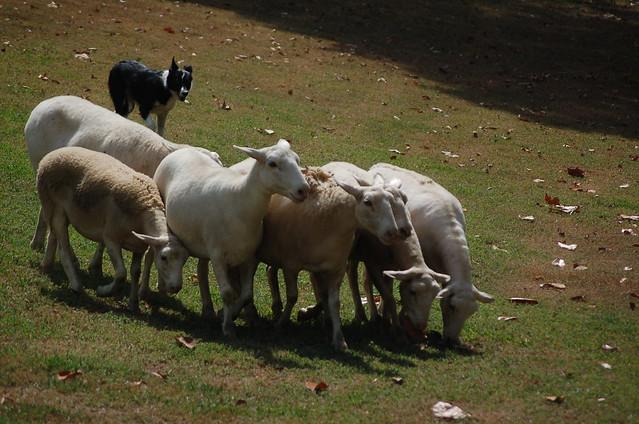 herded