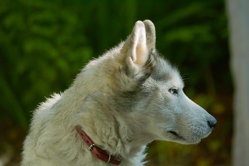 5029660880 777f3e2e19 Cool Siberian Husky images