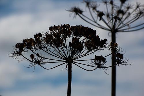 Umbellifer seeds