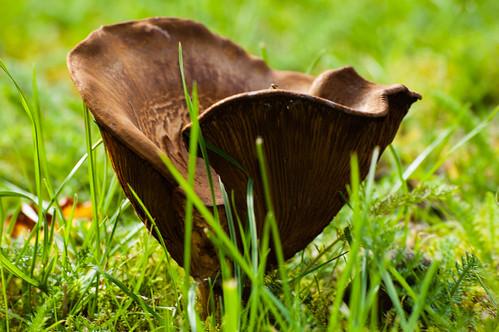 Funnel-shaped mushroom