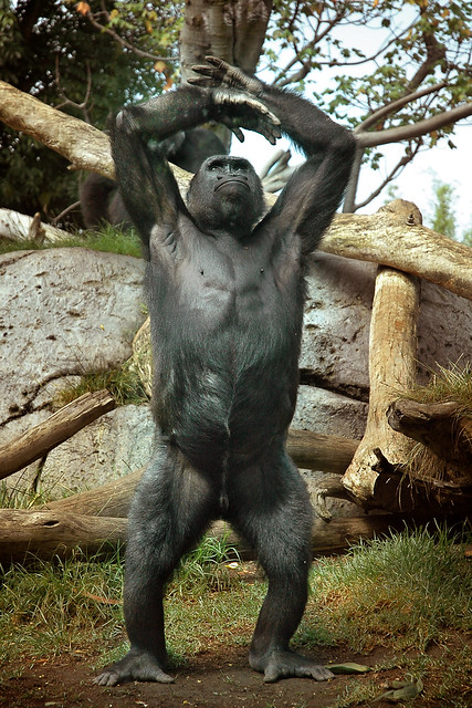Gorilla standing up - photo#31
