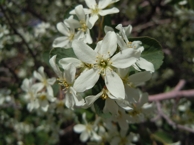 Header of Amelanchier utahensis