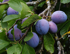 shrub, plum, branch, tree, plant, damson, flora, produce, fruit, food,