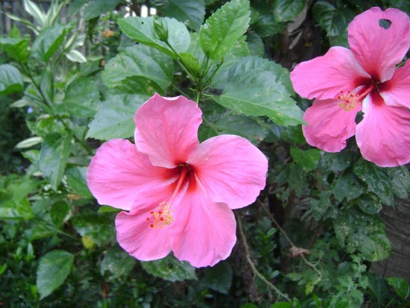 gumamela hibiscus rosa sinensin linn flowers as Hibiscus rosa-sinensin linn  the scientific name of gumamela is hibiscus rosa-sinensis linn.