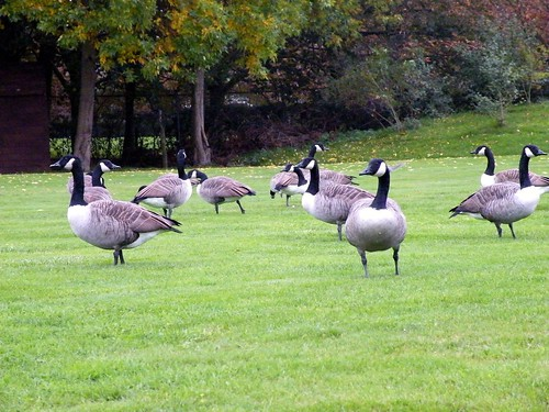 Canadian geese on a meadow