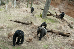 chimpanzee(0.0), pet(0.0), outdoor recreation(0.0), old world monkey(0.0), animal(1.0), monkey(1.0), mammal(1.0), gorilla(1.0), fauna(1.0), ape(1.0), safari(1.0), wildlife(1.0),