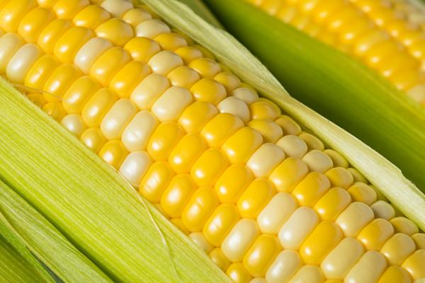 Raw Organic Yellow Corn on the Cob