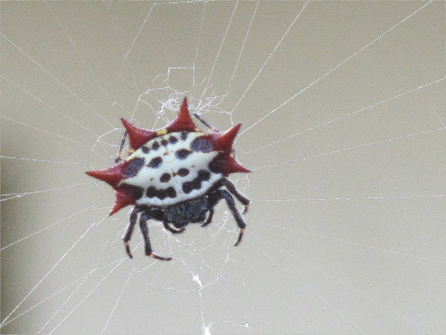 Smiley Face Spider | Flickr - Photo Sharing!