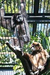 gibbon, animal, monkey, zoo, mammal, fauna, new world monkey,