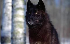 lapponian herder(0.0), gray wolf(0.0), eurasier(0.0), pet(0.0), german spitz(0.0), karelian bear dog(0.0), norwegian elkhound(0.0), saarloos wolfdog(0.0), schipperke(0.0), dog breed(1.0), animal(1.0), dog(1.0), greenland dog(1.0), tervuren(1.0), belgian shepherd(1.0), wolfdog(1.0), carnivoran(1.0),